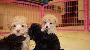 poodle puppies near atlanta