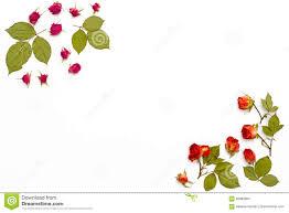 Capitulo De Rosas De Las Flores En Un Fondo Blanco Estampado De