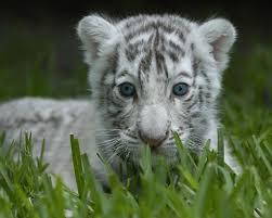 baby white tiger 6890368