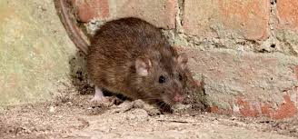 are rats dangerous what you need to know
