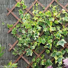 Expanding Wooden Garden Climbing Plant Trellis Fence Panel Climbing 6ft X 1ft Ebay