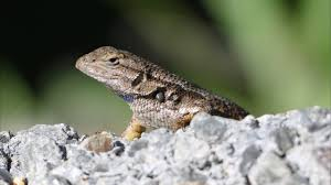 Wild Wonders Western Fence Lizard Youtube