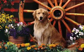 golden retriever in the flower garden