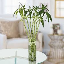 twisted lucky bamboo plant lucky