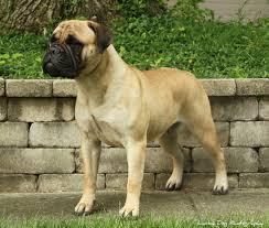 Bullmastiff #dogs #mastiffs #puppy ...