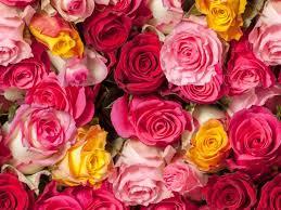 rosas coloridas bando hd wallpaper