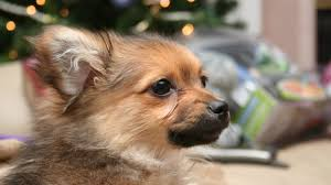 pomapoo dogs fun facts history and