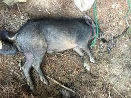 160 hog foot snare hog trap handmade