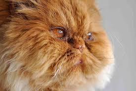 red eye in cats symptoms causes