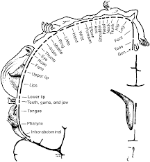 penfield s sensory homunculus cortical