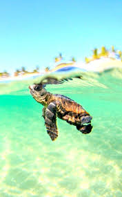 baby sea turtle wallpapers top free