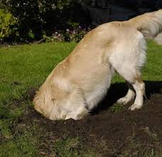 Why Does My Dog Dig Identify And Channel Your Dog S Digging Instincts