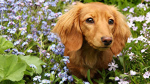 dachshund wallpaper 82 images