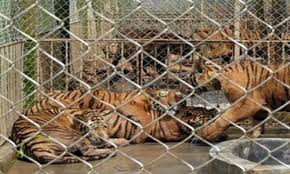Petition China Stop Ignoring Ban On Sale Of Tiger Body Parts Close Down China S Tiger Farms Change Org