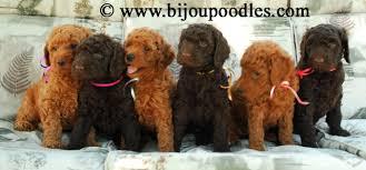 standard poodle puppies standard