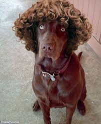 Image result for animals with curly hair