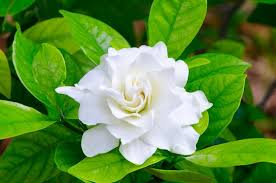 grow and care for your gardenia