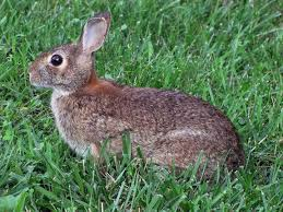 rabbits how to identify and get rid of