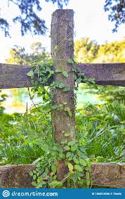 Vine Growing On An Old Wooden Fence Stock Photo Image Of Leaves Green 160813506