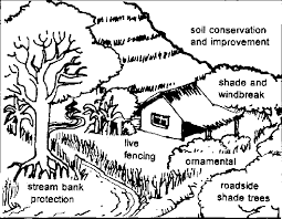 Trees And Their Management Philippine Bamboo Species Their Characteristics Uses And Propagation