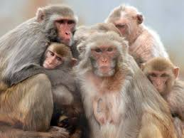 Social development remarkably similar in monkeys, people ...
