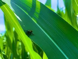 Japanese beetles emerging in western Iowa | Iowa Agribusiness Network