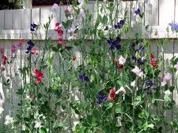 Sweet Peas Napa Master Gardener Column Anr Blogs