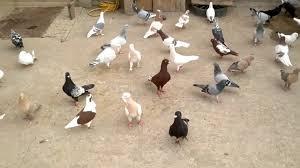 احلى حمام صور طيور الحمام المنام