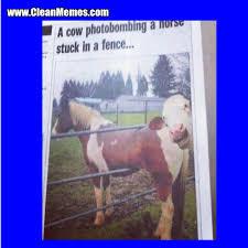 Cow Photobombing Clean Memes