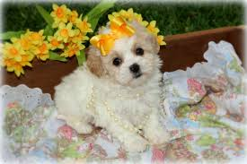 shih poo princess puppies