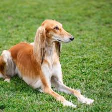 How to Care for a Saluki Dog