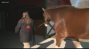 meet the budweiser clydesdale from the