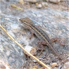 Watercolor Lizard Plateau Fence Lizard 06 Ventana Canyon Arizona Digital Art By Carlson Imagery