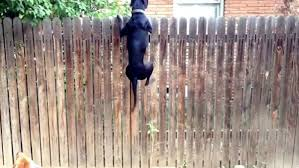 6 Fence Tips For Big Dogs American Fence Company Sioux City