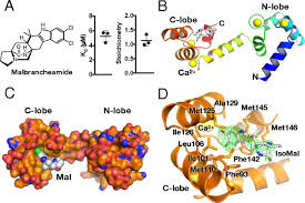 Perturbation of the interactions of calmodulin with GRK5 using a natural  product chemical probe | PNAS