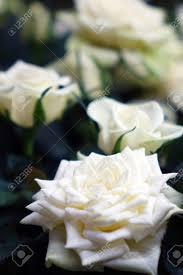 صور ورد جميل صور ورد رومانسى Hd 2020 معلومات عن الورد صورميكس