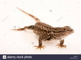 Eastern Fence Lizards High Resolution Stock Photography And Images Alamy