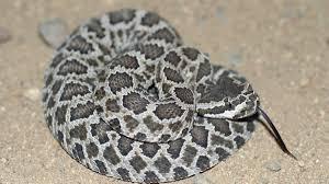 It S Rattlesnake Season 12 Things You Need To Know The San Diego Union Tribune