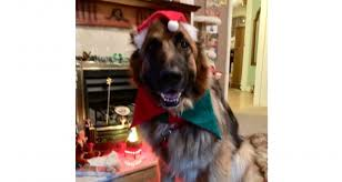 Festive Pets entries come flooding in – The Voice