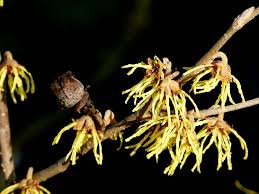 witch hazel flowers single flowers
