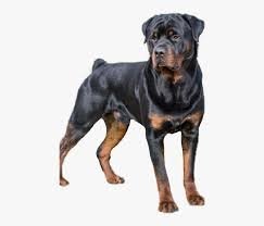 rottweiler black and brown dog