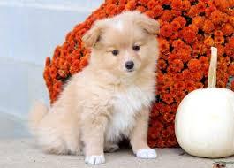 pomeranian mix puppies puppy