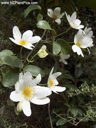 Clematis Paniculata Nz Native Bush Clematis Puawhananga White Clematis Clematis Paniculata Plant Photography Native Garden