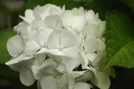 صورة وردة بيضة
