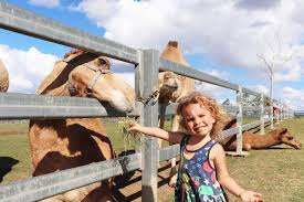 Addie Lawson feeds a camel at Summer Land Camels farm in Harrisville west  of Brisbane - ABC News (Australian Broadcasting Corporation)