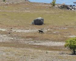 Canterbury Panther The Search For The Mysterious Big Cat Otago Daily Times Online News