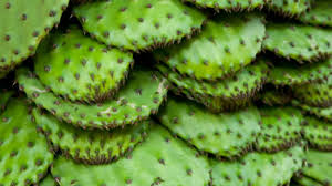 nopal cactus Аmazing benefits for