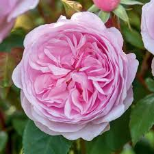 Roses For Growing As Hedges David Austin Roses