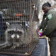 Hawbaker Stop Raccoons From Swiping All Your Sweet Corn Home Garden Herald Review Com