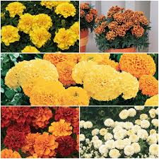 sunrise marigold collection flowers